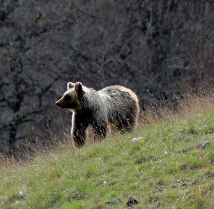 Un orso si guarda intorno